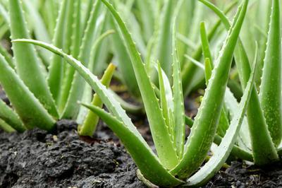 Aloe Vera Plantation in Uganda