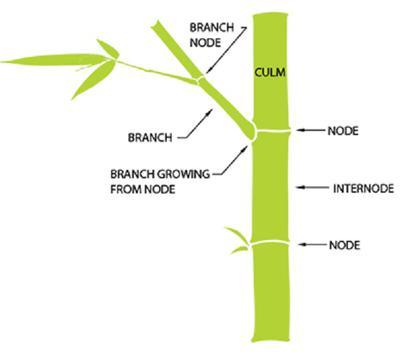 Bamboo Plant Anatomy