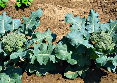 Broccoli Vegetables in garden Africa