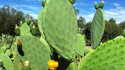 Cactus in Uganda