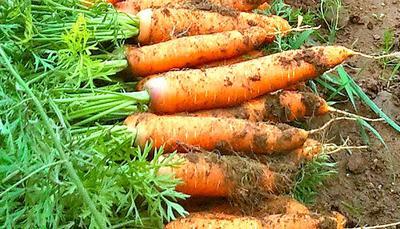 Carrots in Uganda Africa freshly Uprooted