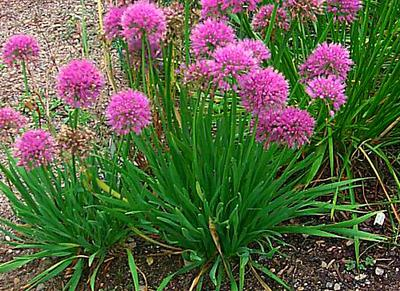 How To Grow Chive Spices In Uganda