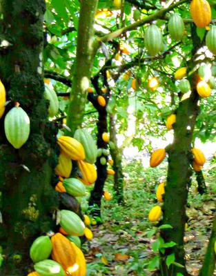 Cocoa Trees with Ripe Yellow Fruits