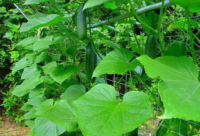Cucumber Vegetables ready to Harvest