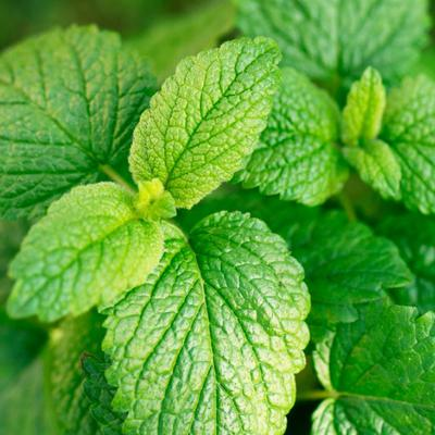 Lemon Balm Leaves in Uganda