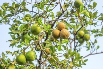 Lemon Tree in Africa