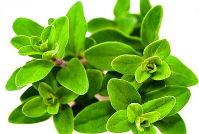 Marjoram Plants with Fresh Leaves