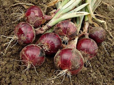 Bulb Onions in Uganda