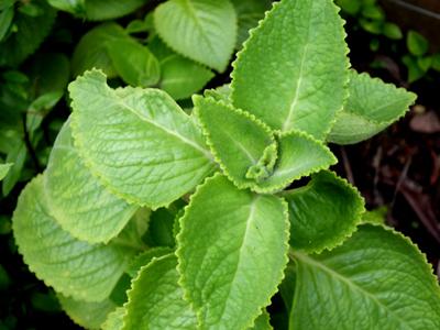 Oregano Plant Leaves in Uganda