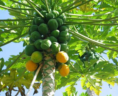 Papaya a.k.a Pawpaw Tree with Ripe Fruits in Uganda