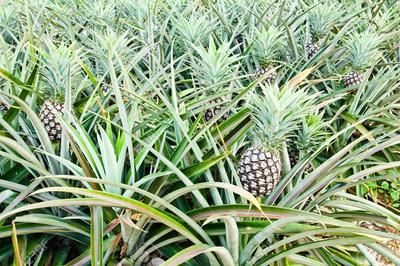 PINEAPPLES in Uganda