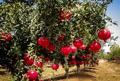 Pomegranate Trees with Fruits