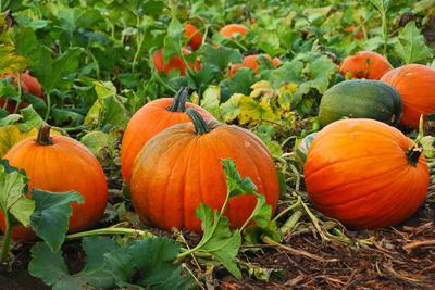 Pumpkins in Uganda