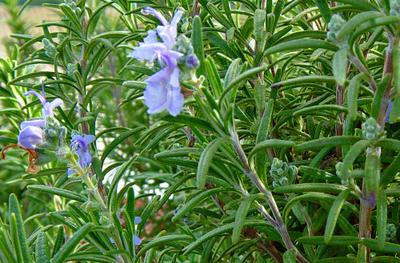 Rosemary Plant with Flower in Uganda