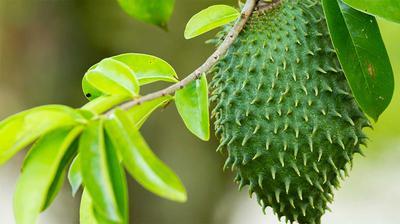 Soursop Fruit on tree in Uganda
