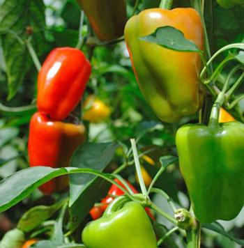 Sweet/Green Pepper in Uganda