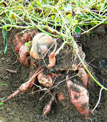 Sweet Potatoes being Harvested