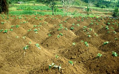 Sweet Potato Garden in Uganda