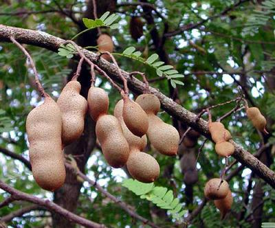 Tamarind Plants with Fruits