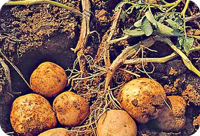 Irish Potatoes Fresh from Soil in Uganda
