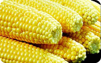 Maize Cobs Fully Dressed in Uganda