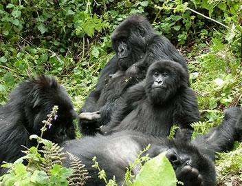 Gorilla Familly in Uganda Africa