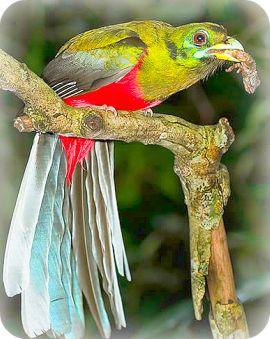 Uganda Birding Safari Guide: Narina Trogon
