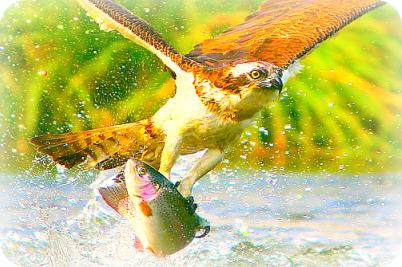 Uganda Birding Safari Guide: The Osprey