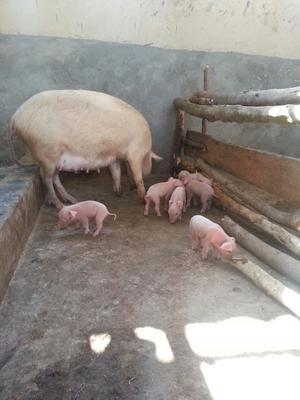 Pigs in Uganda