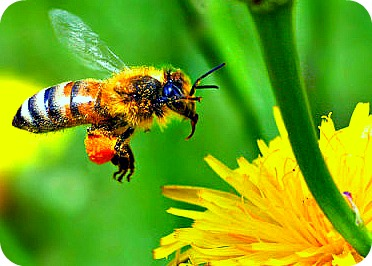 Bee arriving to Pollinate Flower