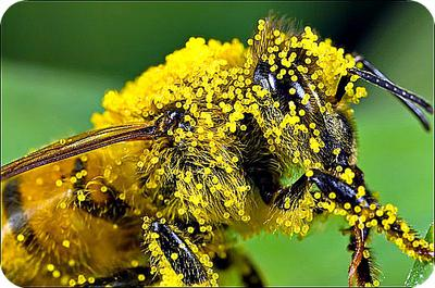 Honey Bee Laden with Pollen