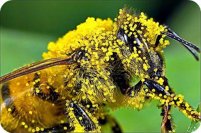 Honey Bee Laden with Pollen