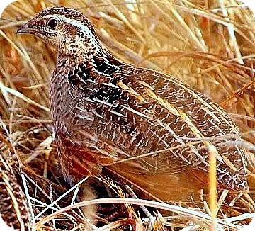 Quail Bird in Uganda, Africa