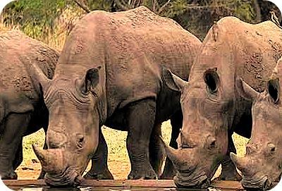 Rhinos In Africa Uganda