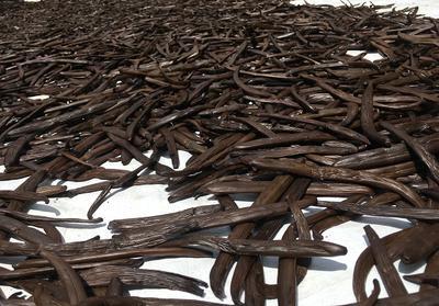 Curing Uganda Vanilla Beans- Sun drying Phase