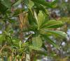 Photo/appearance <br>Alstonia boonei in Uganda