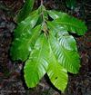 Aningeria adolfi-friedericii  leafy branch