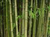 Bamboo Plants in Uganda