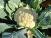 CAULIFLOWER Plant in Uganda
