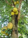 Jackfruit Tree in Uganda Africa