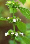 Lemon Balm Plant with Flowers Africa