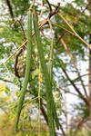 Moringa Tree Pods Uganda