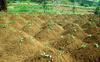 Sweet Potato Garden in Uganda