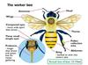 The Structure of a Worker Bee