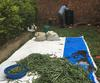 Killing Green Vanilla Beans in Uganda