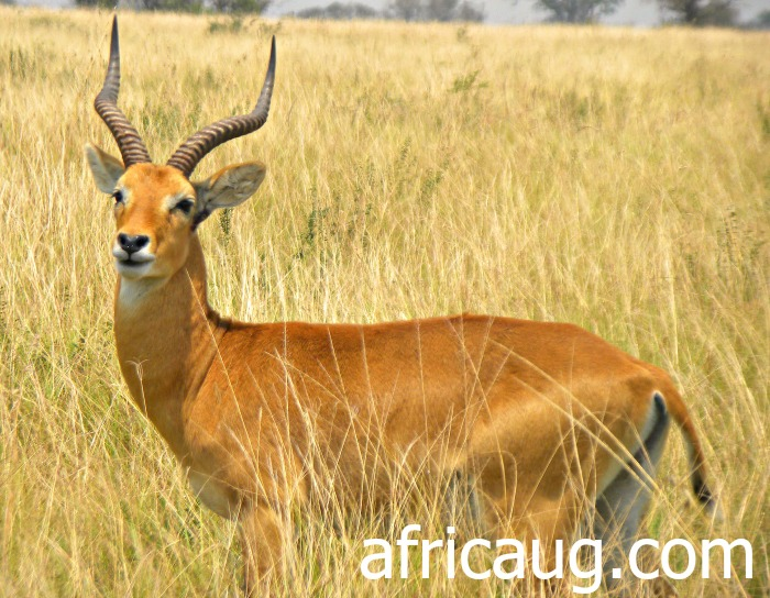 The Uganda Kob, by far the commonest Antelope at Queen Elizabeth National Park.   This animal is the Symbol for Wildlife on the Uganda Court of Arms
