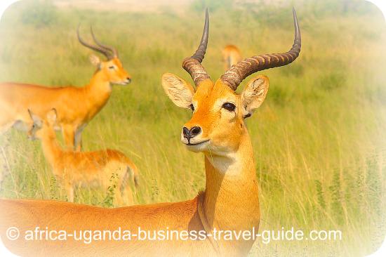 Uganda Kob Wildlife