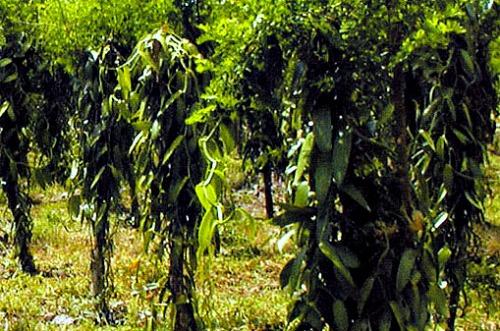 Vanilla Plantation in Uganda