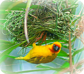 Uganda Birding Safari Guide: Weaver Bird