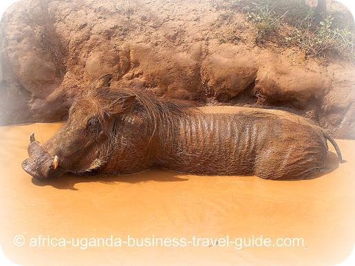 Wild pig in Lake Mburo National Park